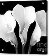 Calla Lily Trio In Black And White Acrylic Print