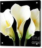 Calla Lily Trio Acrylic Print