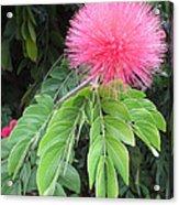 Calliandra Blossom Acrylic Print