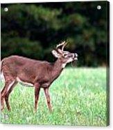 Calling Buck Acrylic Print