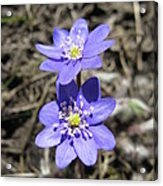 Calling Spring. Two Violets Acrylic Print