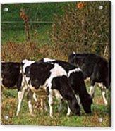Calves Acrylic Print