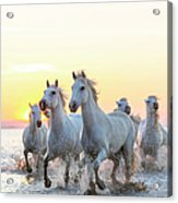 Camargue White Horses Running In Water Acrylic Print