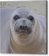Cambria Baby Seal Acrylic Print