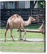Camel And Emu Acrylic Print