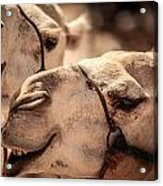 Camel Face Acrylic Print