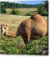 Camel In The Berry Bush Acrylic Print