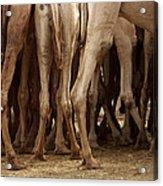 Camel Legs Acrylic Print