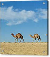 Camel Train Acrylic Print