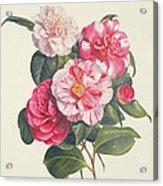Camelias Acrylic Print