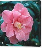 Camellia 1 Acrylic Print