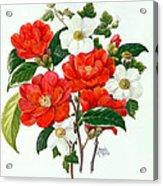 Camellia Adolf Audusson Acrylic Print