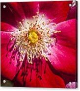 Camellia Acrylic Print by Carolyn Marshall