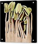 Camellia Flower Stamens, Sem Acrylic Print