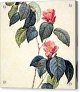 Camellia Japonica Acrylic Print by Pierre Joseph Redoute