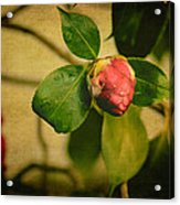 Camellia Acrylic Print by Marco Oliveira