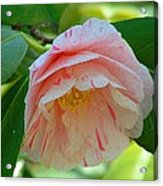 Camellia White With Pink Stripes Acrylic Print