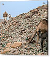 Camels At The Israel Desert -1 Acrylic Print