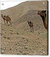 Camels At The Israel Desert -2 Acrylic Print