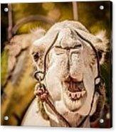 Camel's Smile Acrylic Print