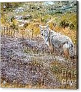 Camo Coyote Acrylic Print
