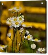 Camomille Acrylic Print