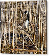 Camouflaged Canada Goose Acrylic Print