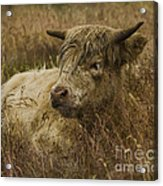 Camouflaged Cow Acrylic Print