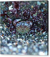 Camouflaged Crab Acrylic Print by Sarah Crites