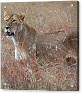 Camouflaged Female Lion In Grass Acrylic Print