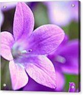 Campanula Portenschlagiana Blue Bell Flowers Closeup Acrylic Print