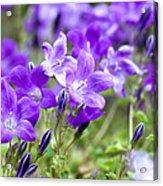 Campanula Portenschlagiana Blue Bell Flowers Acrylic Print