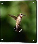 Can You See My Red Feathers Acrylic Print