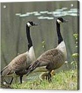 Canada Geese 274 Acrylic Print