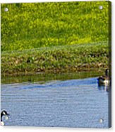 Canada Geese And Goslings Acrylic Print