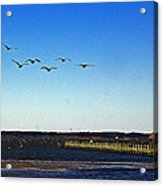 Canada Geese At Northside Park Acrylic Print