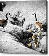 Canada Geese Family Acrylic Print by Elena Elisseeva
