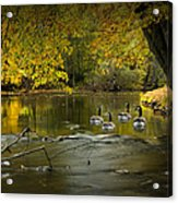 Canada Geese In Autumn Swimming On The Thornapple River Acrylic Print