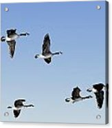 Canada Geese In Flight, Algonquin Park Acrylic Print