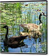 Canada Geese On Lily Pond At Reinstein Woods Acrylic Print