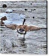 Canada Goose - The Runway Acrylic Print