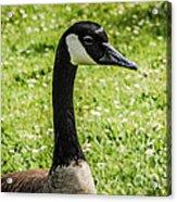 Canada Goose 2 Acrylic Print