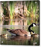 Canada Goose - Babies  8237-16x10 Acrylic Print