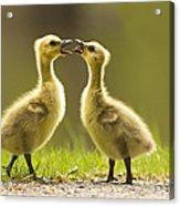 Canada Goose Babies Acrylic Print
