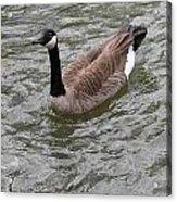 Canada Goose Acrylic Print
