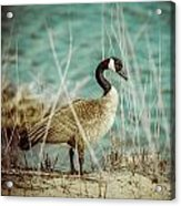 Canada Goose Acrylic Print by Gerald Murray Photography