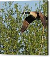 Canada Goose In Flight Acrylic Print