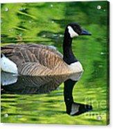 Canada Goose On Green Pond Acrylic Print
