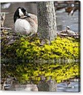 Canada Goose On Nest Acrylic Print