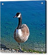 Canada Goose On One Leg Acrylic Print